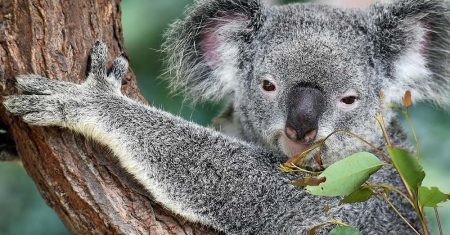 un koala, animal emblemático de Australia