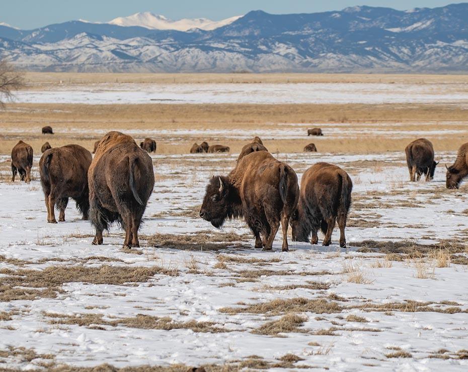 Repoblar el ártico de grandes mamíferos podría ayudar a imitar la estepa del mamut.