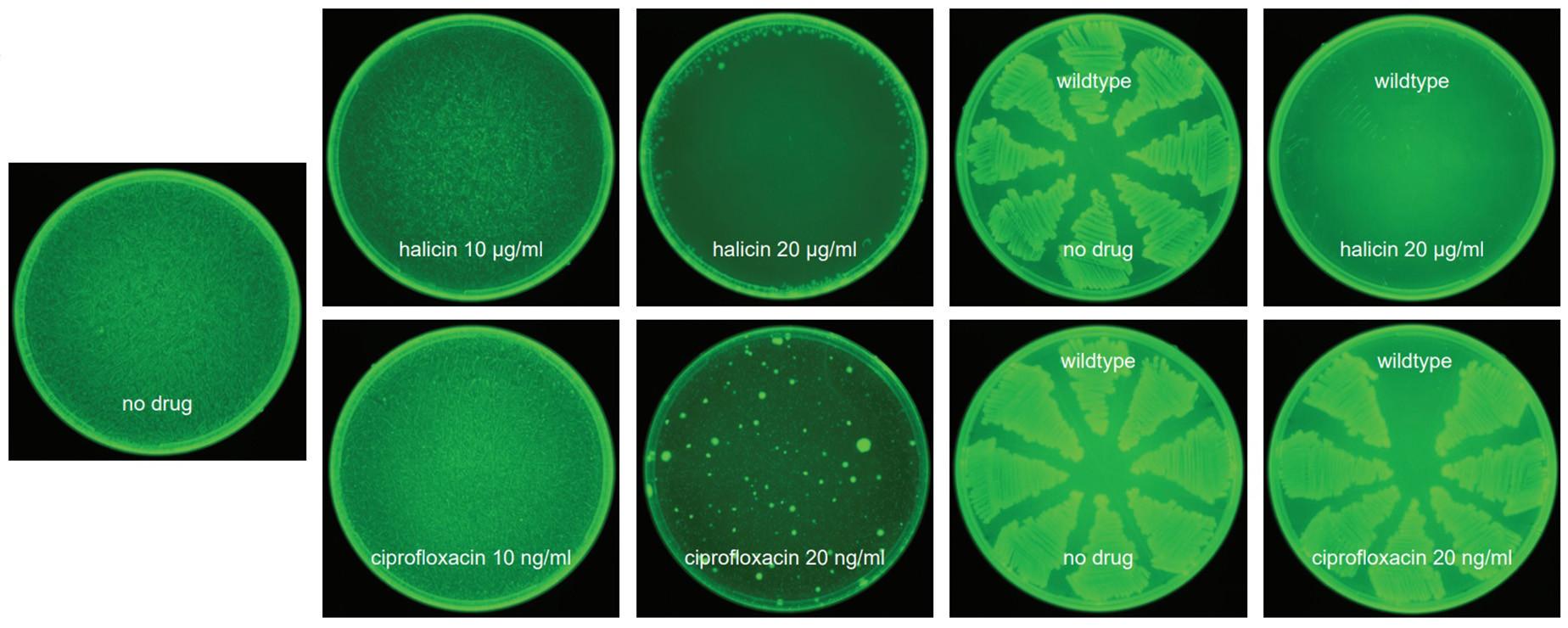 halicina eficiencia placas petri