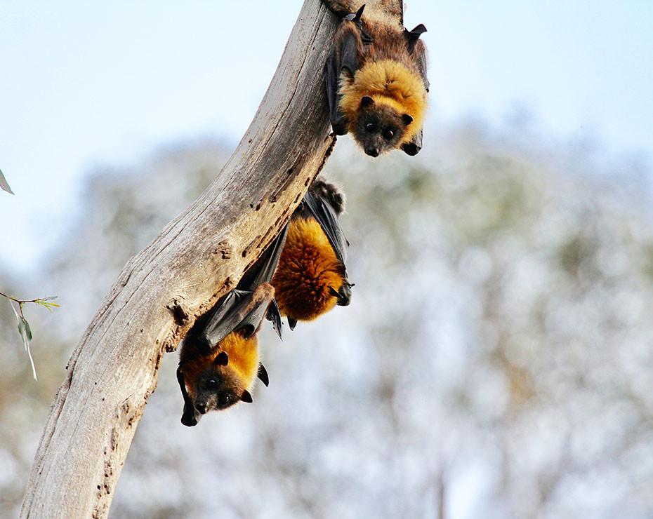 Te explicamos por qué son los murciélagos transmisores de virus.