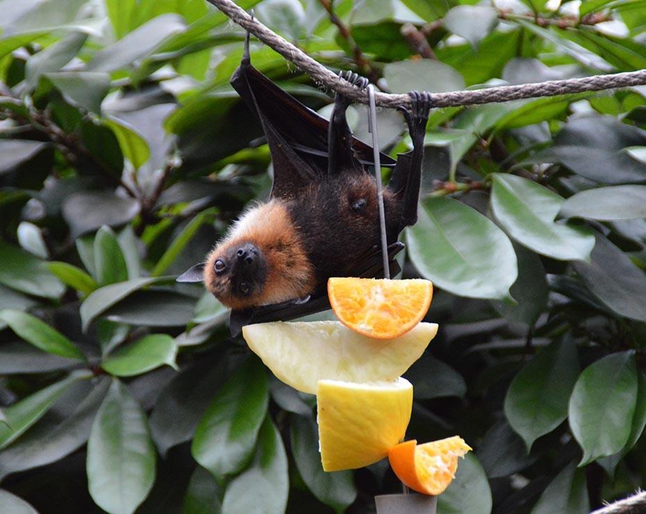 Los murciélagos también son transmisores de virus por sus propios hábitos.