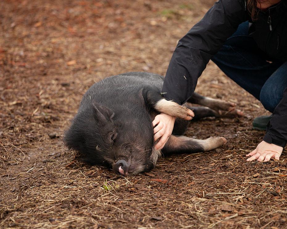 G4 EA H1N1 virus animales cerdos contacto humanos enfermedad