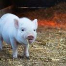 G4 EA H1N1 virus animales cerdos zoonosis