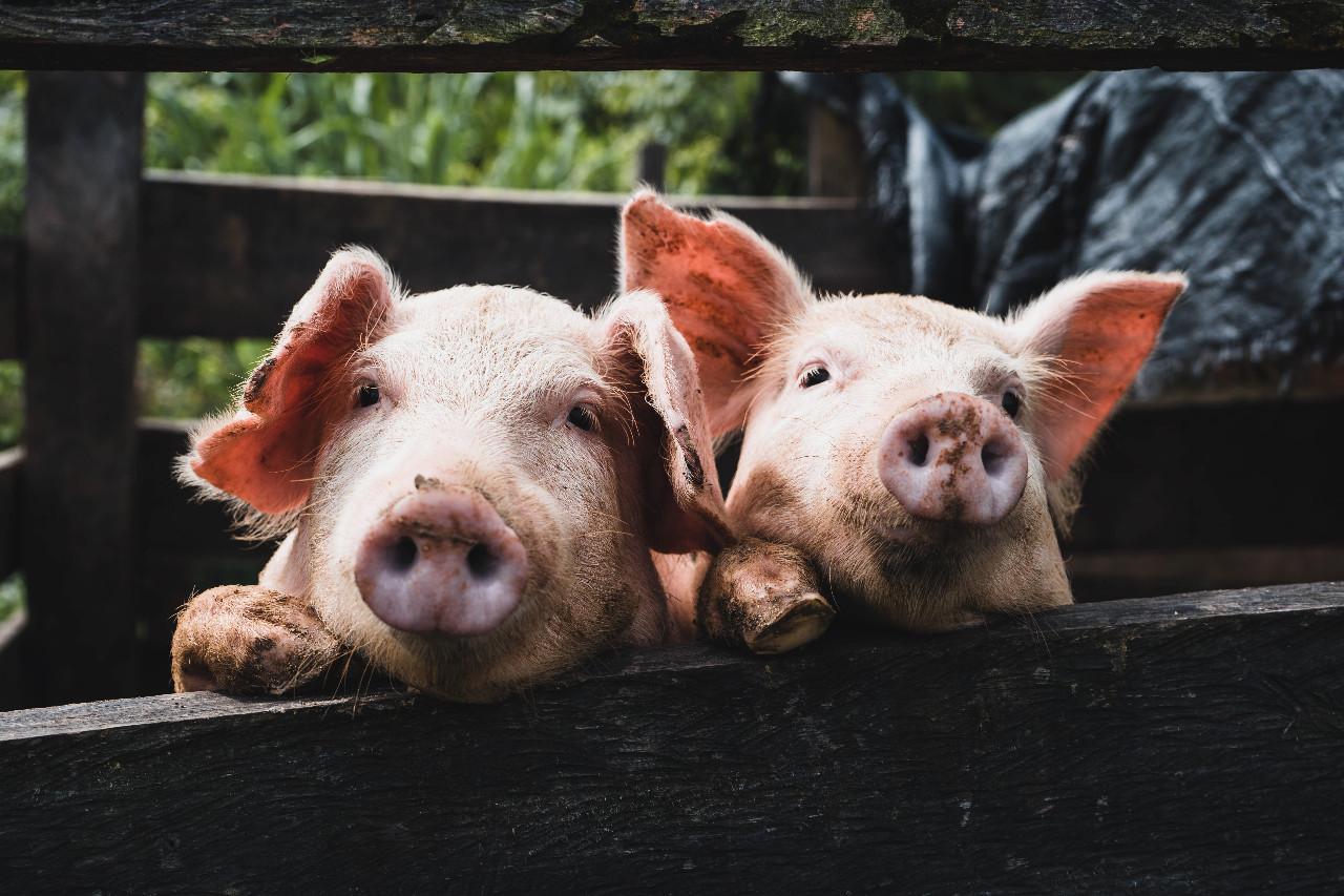 peste porcina
