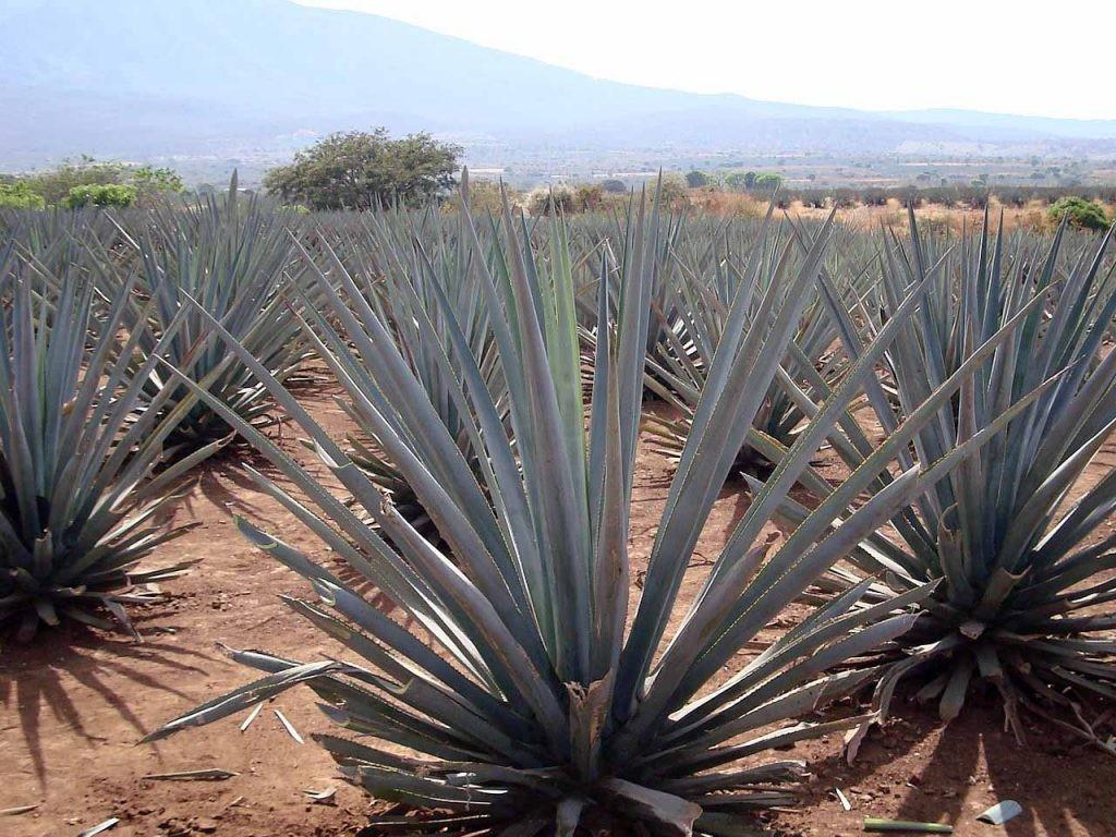 agave tequilana en México