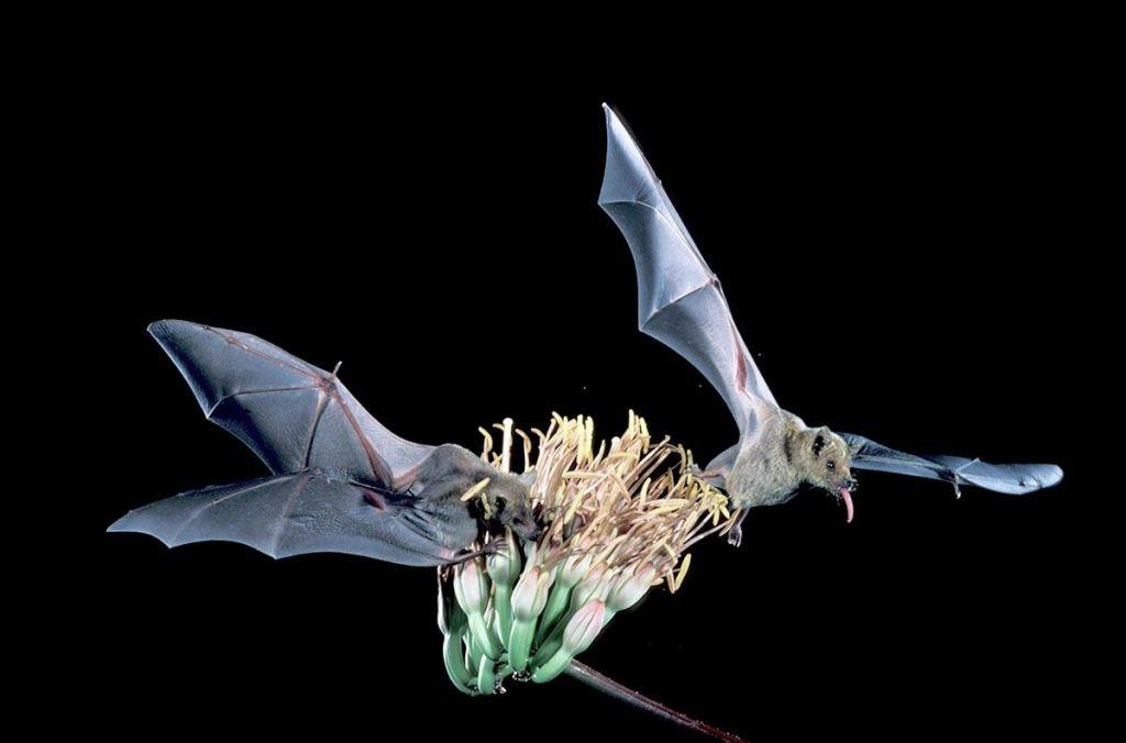 murciélago magueyero