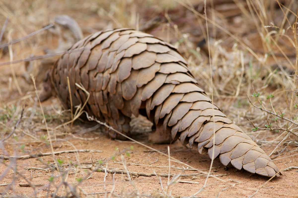 Uno de los animales más afectados por el tráfico de animales salvajes es el pangolín