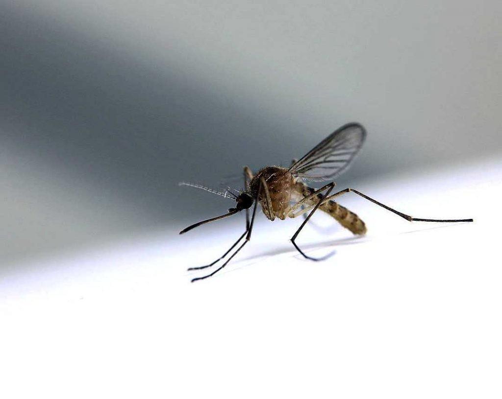 mosquito del virus del Nilo