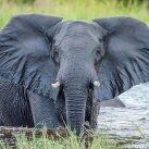 La causa de las muertes de elefantes en Botsuana fue una cianobacteria.