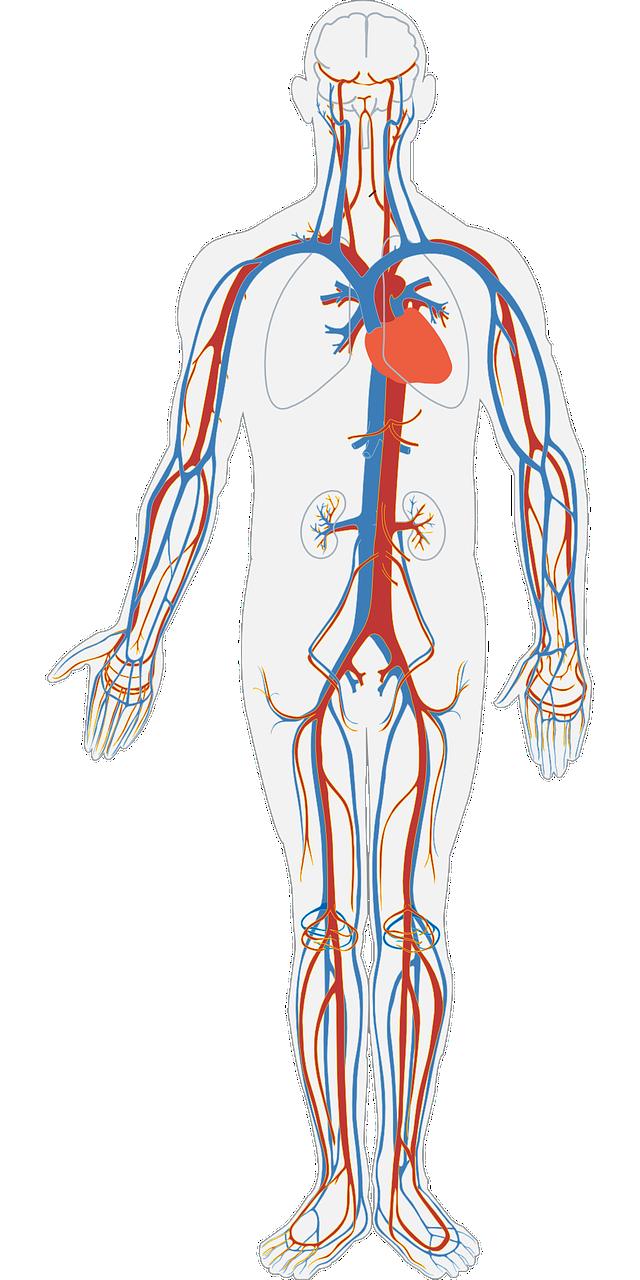 circulación sangre cuerpo