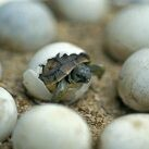 uhevo eclosionando de testudo hermanni o tortuga mediterránea