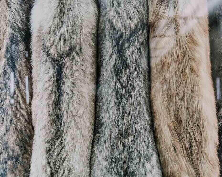 Los visones son criados en granjas para vender sus pieles.