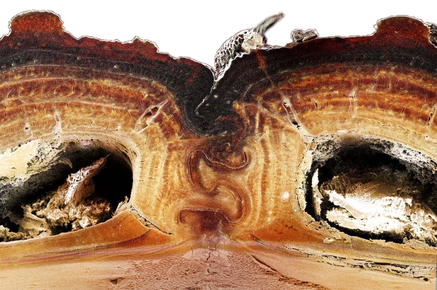Vista transversal del tórax del escarabajo. / David Kisailus