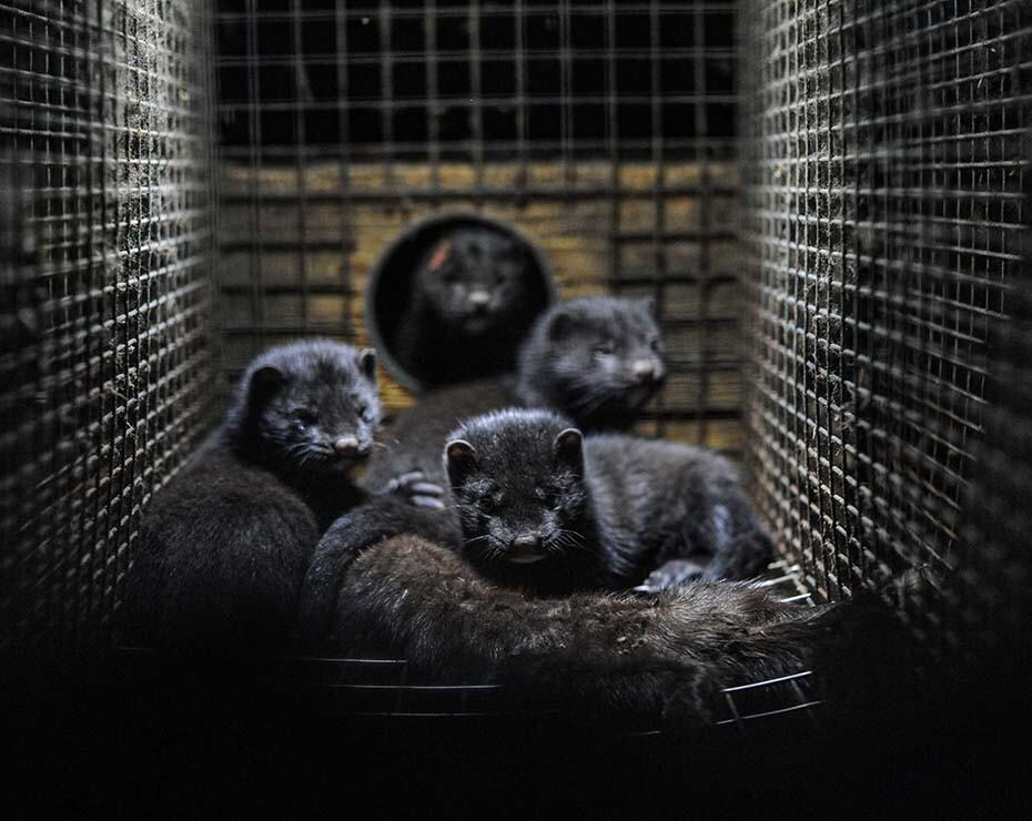 Visones y COVID-19: estos animales son muy proclives a sufrir infecciones respiratorias.