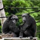Conservar los chimpancés gracias a modelos de conectividad del paisaje.