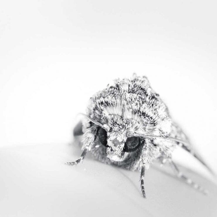 insectos que no vuelan como esta polilla