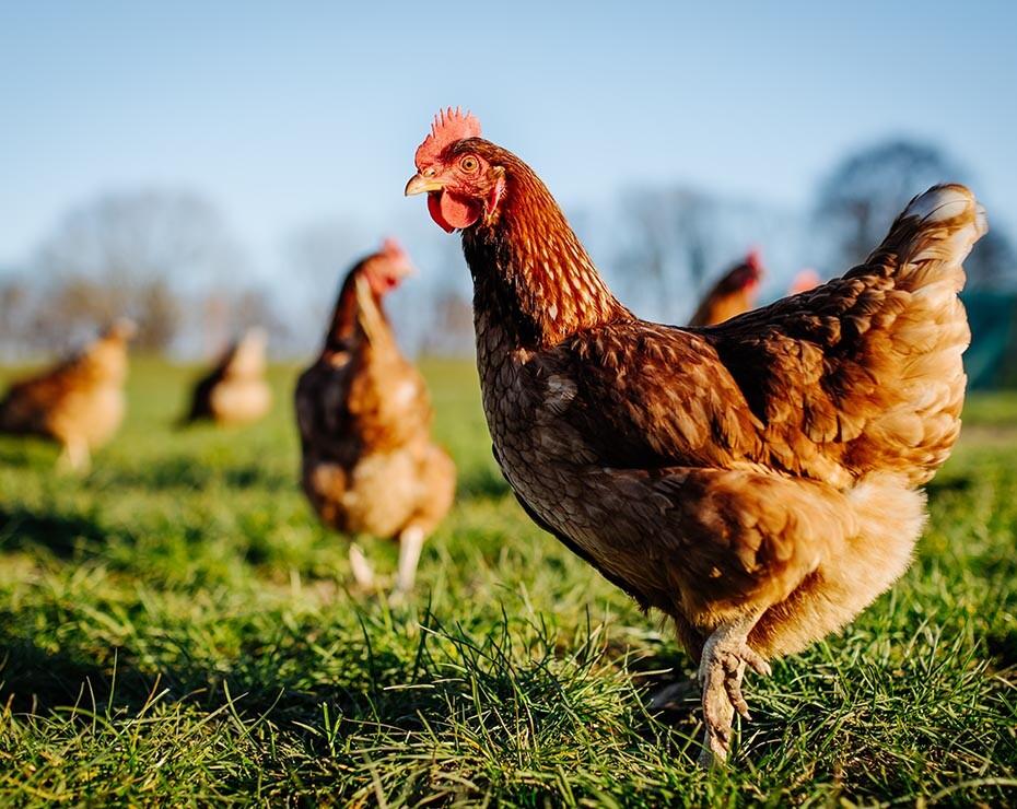 carne de laboratorio agricultura celular