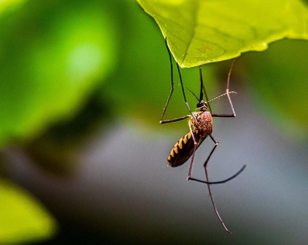 por qué pican los mosquitos
