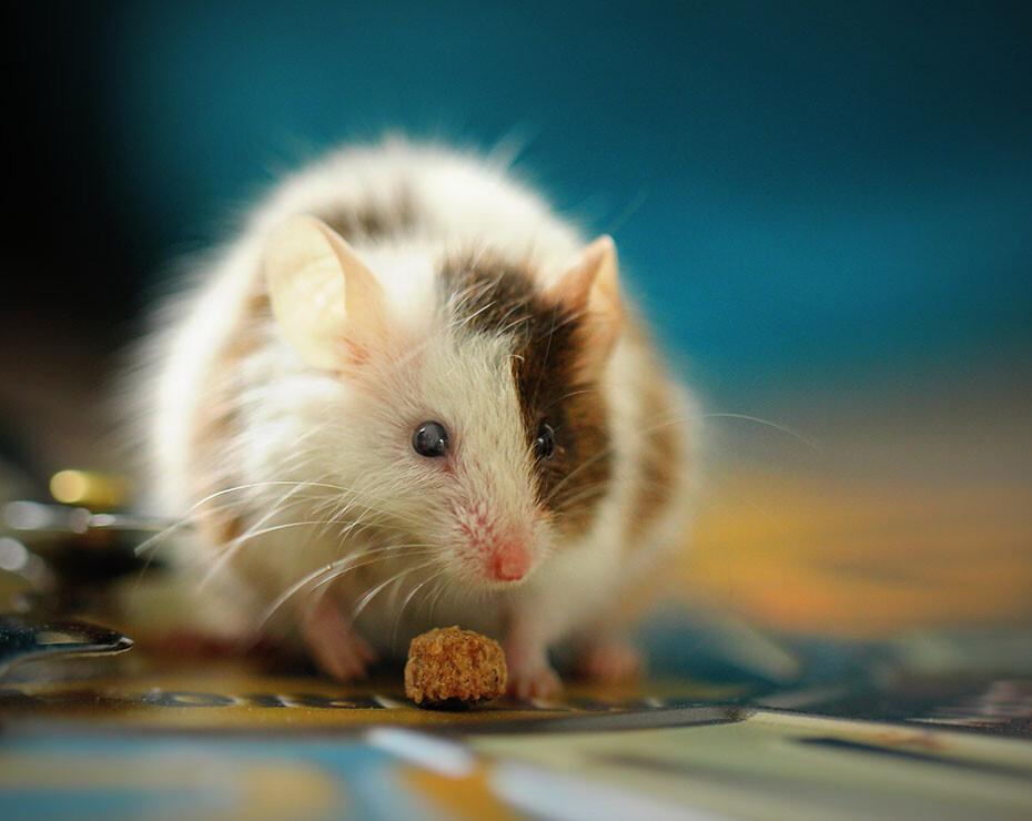 te contamos en qué consiste y cómo se regula la experimentación con animales en España.