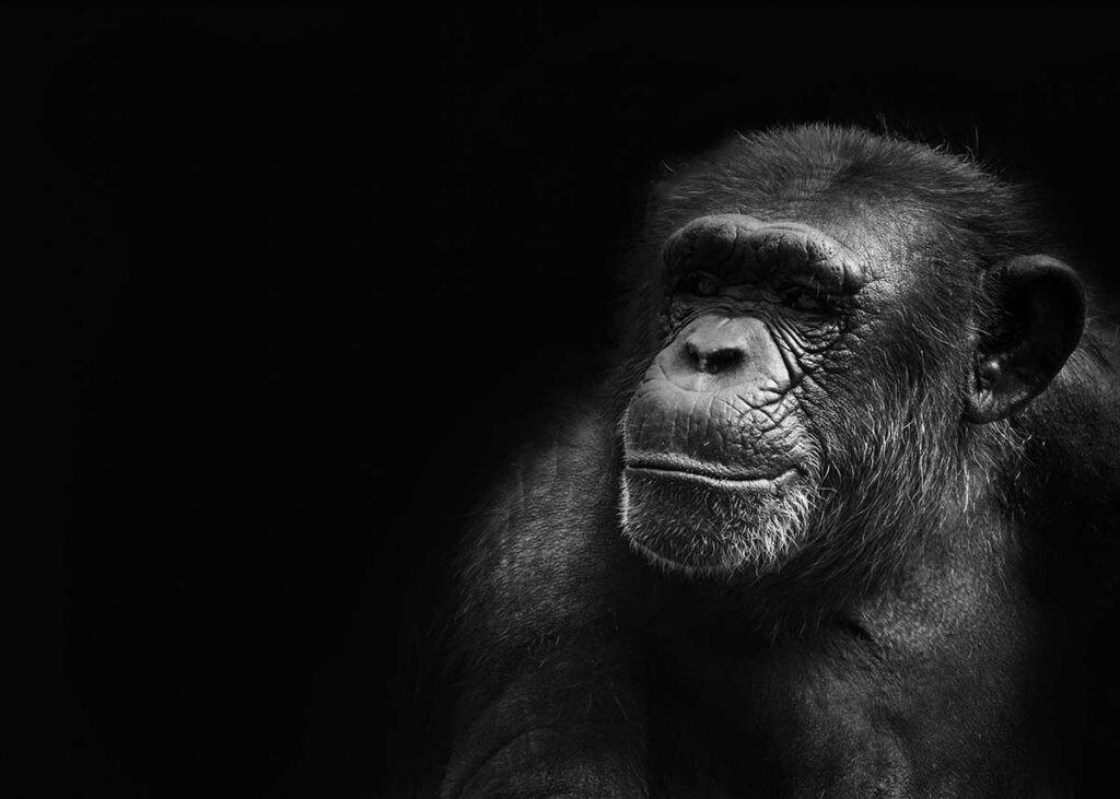 qué tipo de mono queremos ser