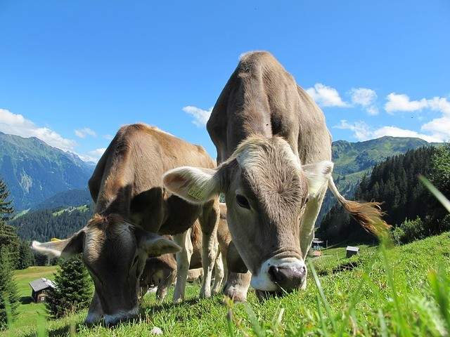 cows-cow