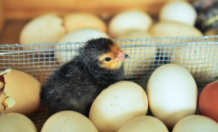 chicks-black