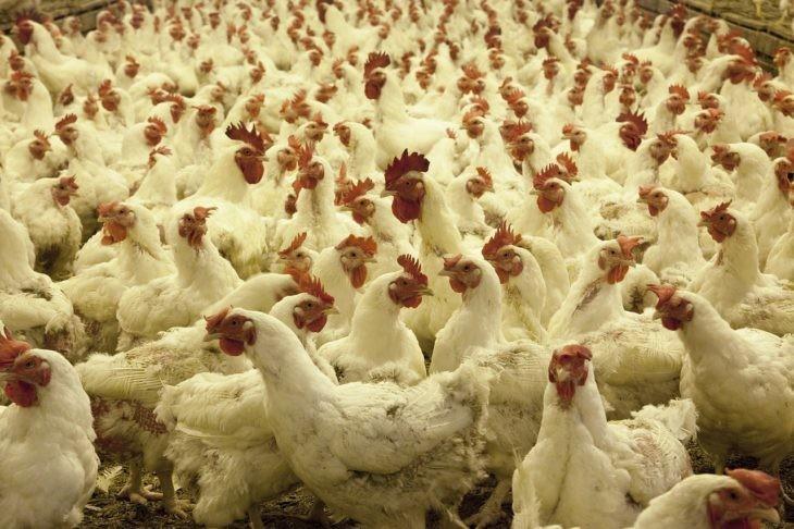 poultry-farm
