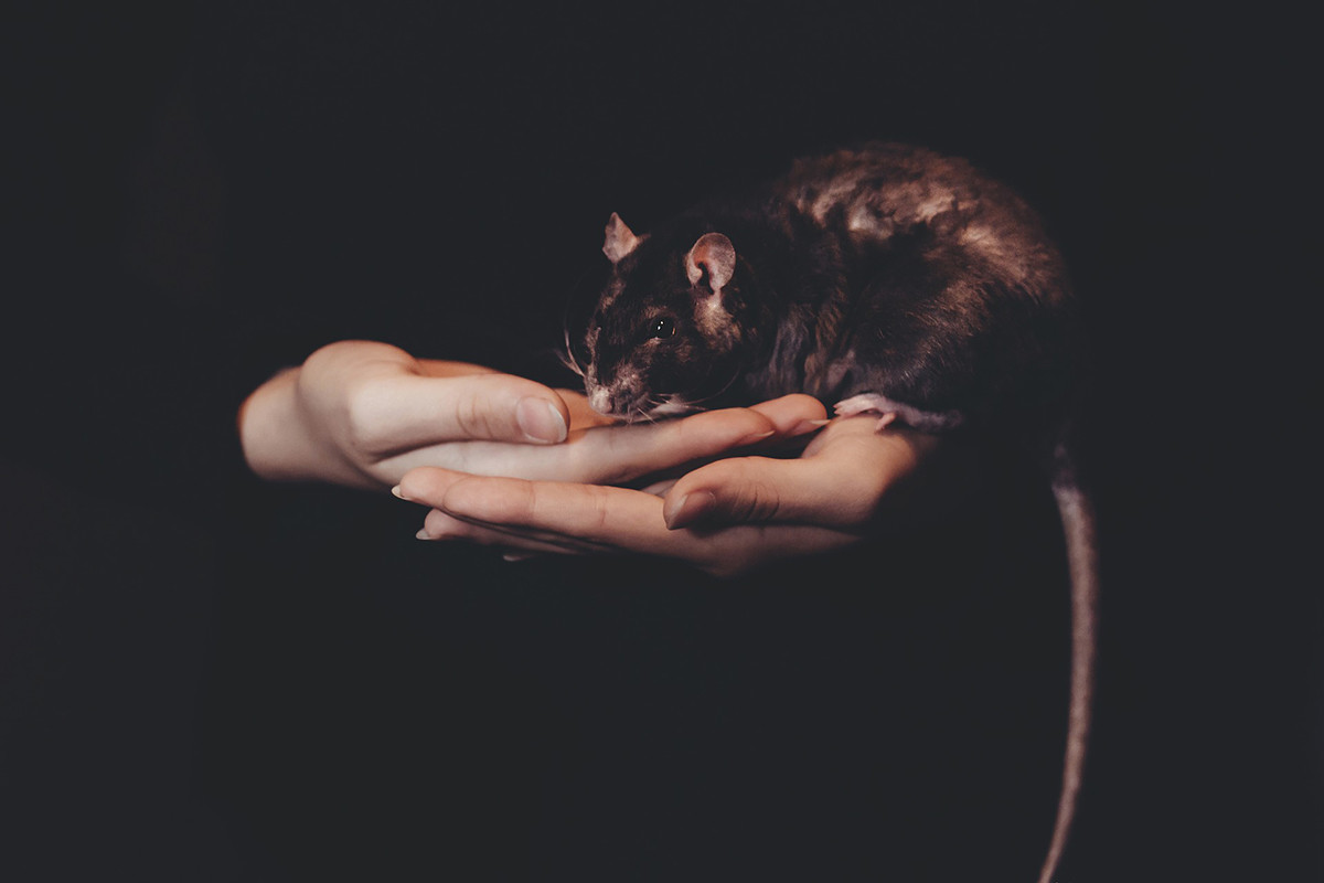 ratas y peste negra
