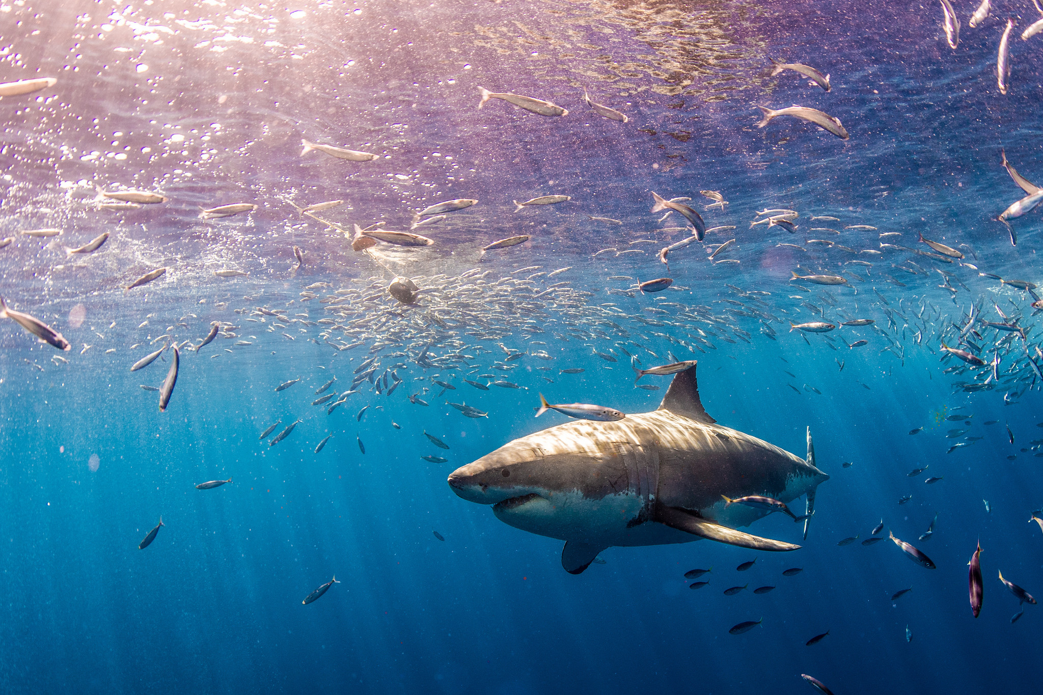 twitter avisa de tiburón