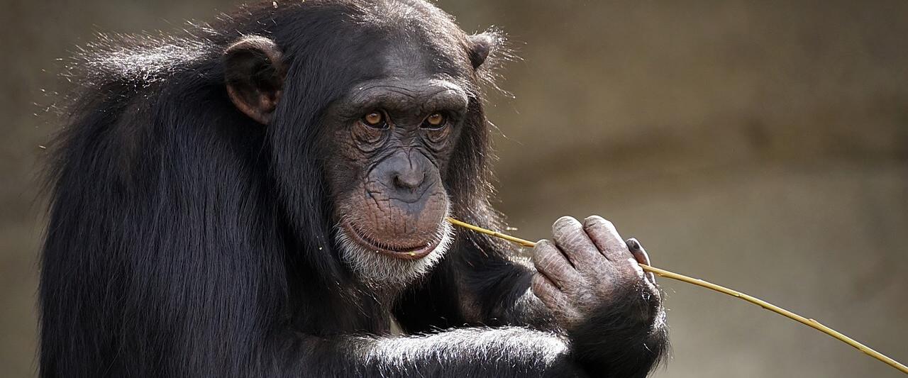 Un estudio relaciona la cercanía de los humanos con la reducción de transmisión de conocimientos de los chimpancés.
