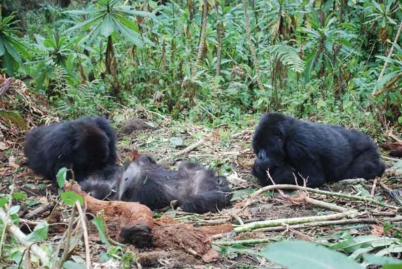 funeral de los gorilas