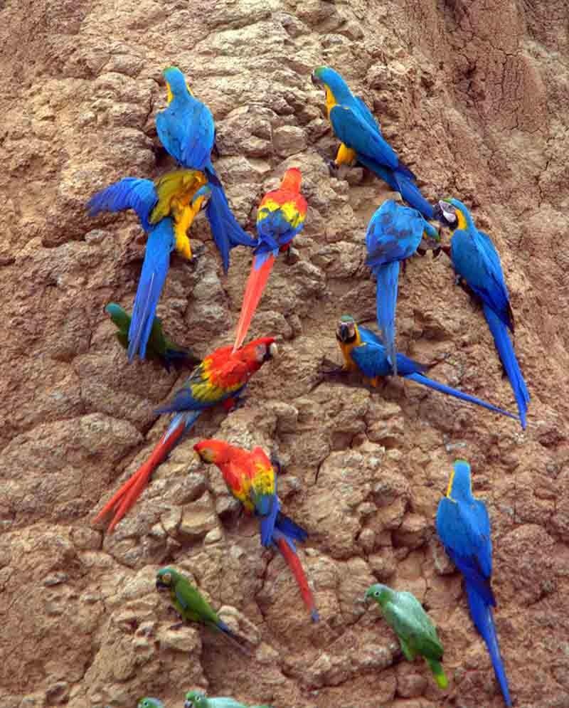 aves alimentándose de arcilla en el Amazonas