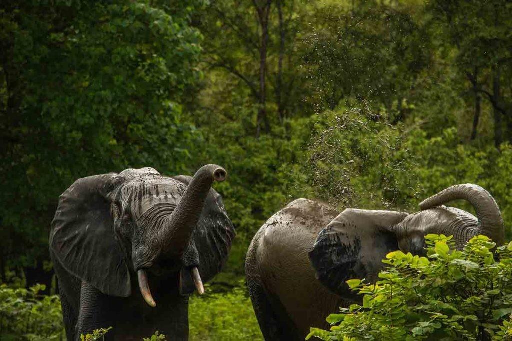 Su alimentación es clave en la relación entre elefantes de selva africano y cambio climático.