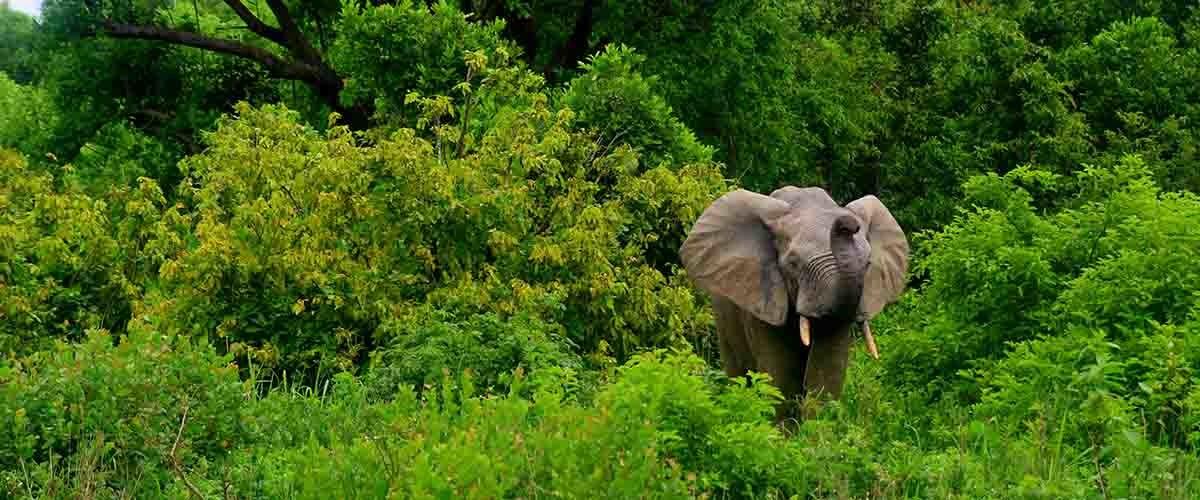 Elefantes de bosque africano y cambio climático.