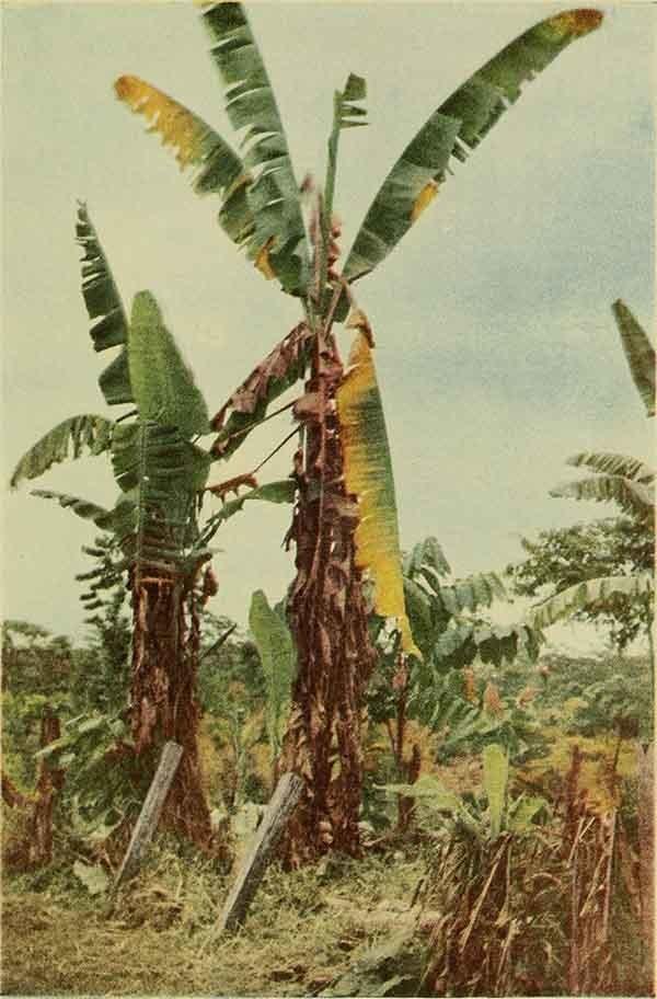 plantación de plátanos afectada por la plaga