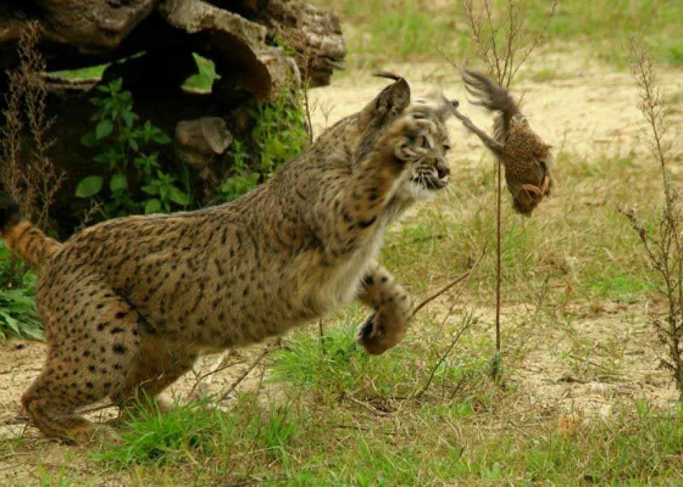 la caza del lince