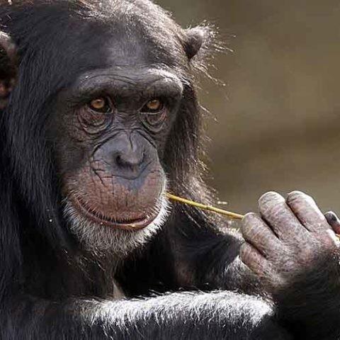 Las técnicas de reconocimiento facial permiten mejorar el estudio de animales como el chimpancé.