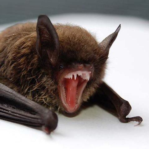 cooperación de los murciélagos