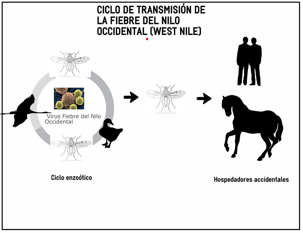 El virus del Nilo Occidental se transmite a los humanos a través de picaduras de mosquito.