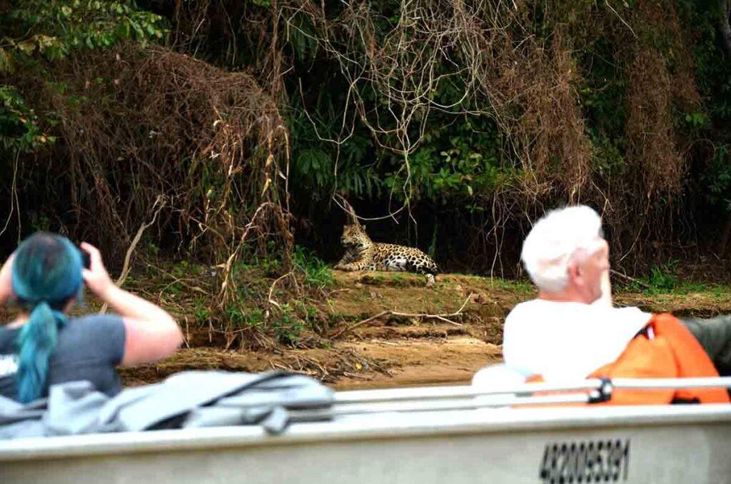 Turistas fotografían un jaguar en El Pantanal, Brasil.