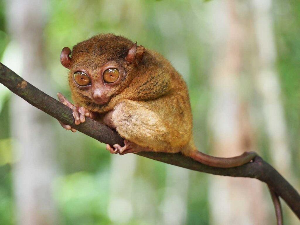 El Tarsier es uno de los primates menos estudiados.
