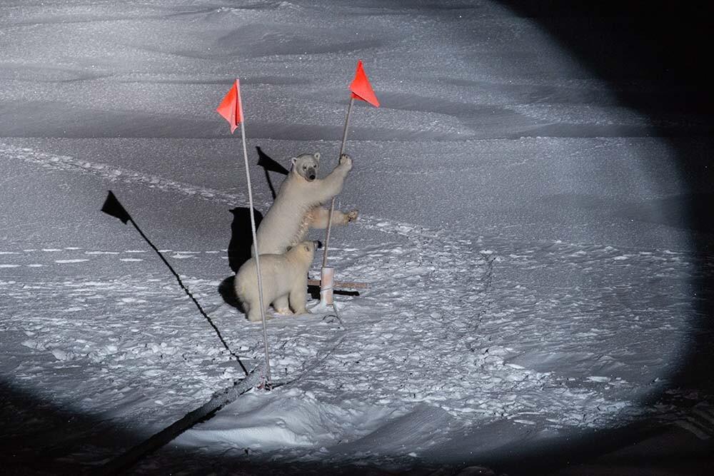 osos polares cerca del Polarstern