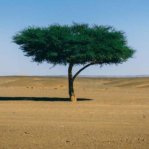Un estudio revela que hay muchos más árboles en el Sáhara y el Sahel.