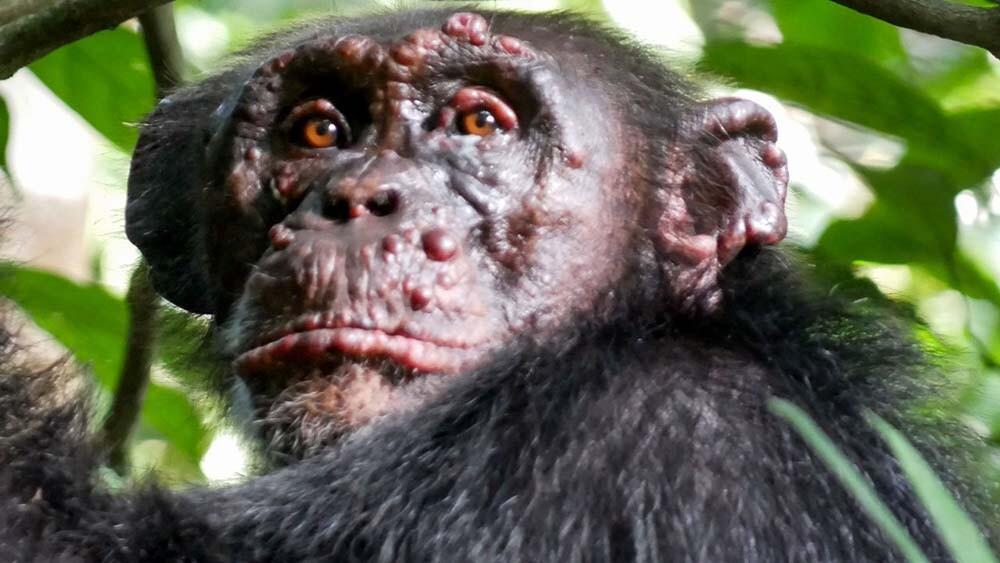 la lepra en chimpancés es un caso de zoonosis inversa