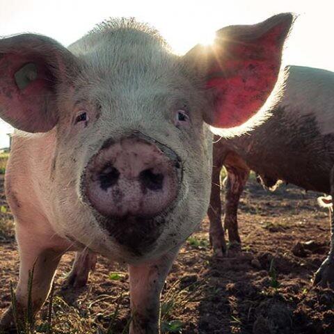 la gripe porcina y las zoonosis