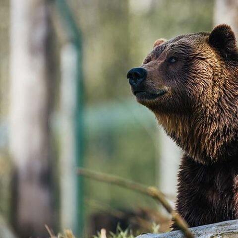 BearID utiliza inteligencia artificial para estudiar al oso pardo.