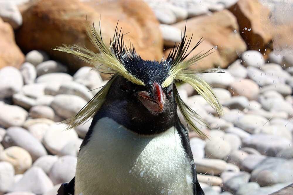 pingüino Rockhopper
