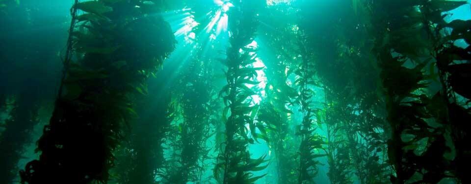bosque de kelp