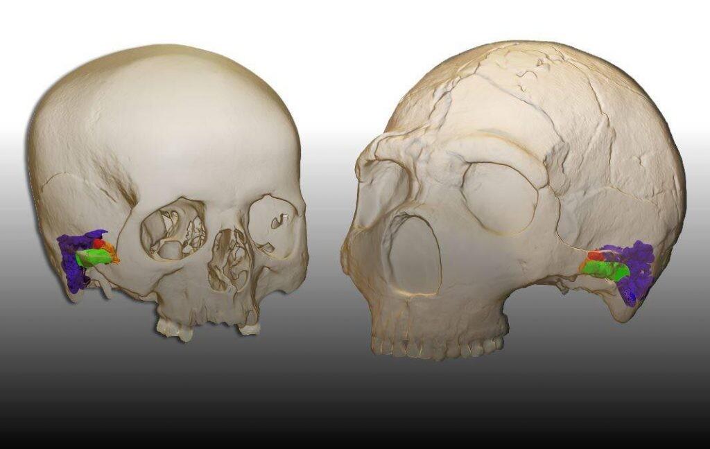 Comparación del oído externo y medio de Homo sapiens y Homo neanderthalensis.
