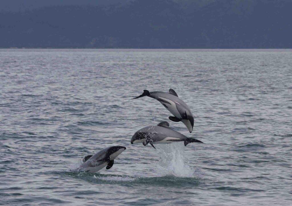 La aleta de los delfines Māui recuerda a la oreja de Mickey Mouse.